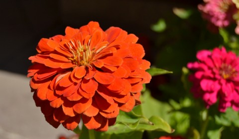 Floare-rosie