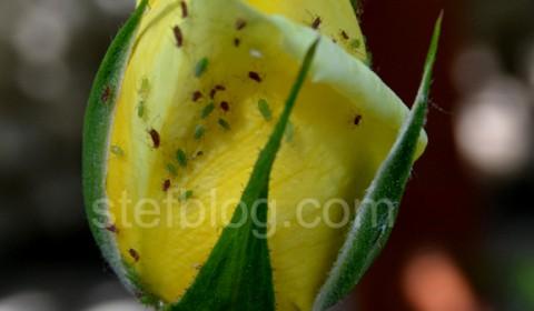 boboc-trandafir-galben-invadat