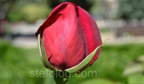 boboc-trandafir-rosu