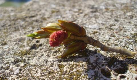 Mugur de primăvara pe o piatră