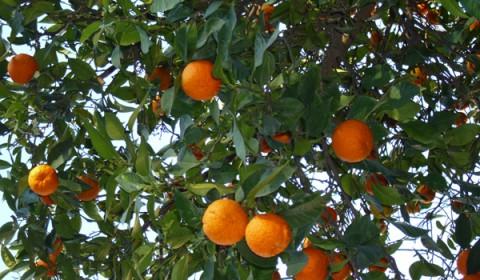 Portocale, primavara în Spania