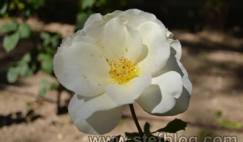 trandafir-alb-zaragoza